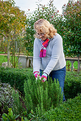 Picking sprigs of rosemary - Rosmarinus officinalis syn. Salvia rosmarinus