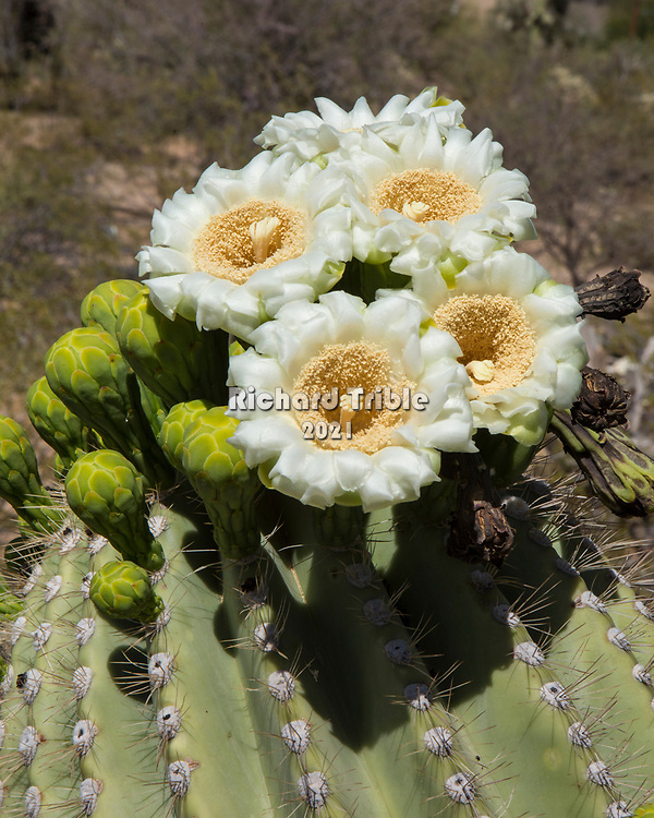 Saguaro cactus in full bloom. The saguaro blossom is the state flower of Arizona.
