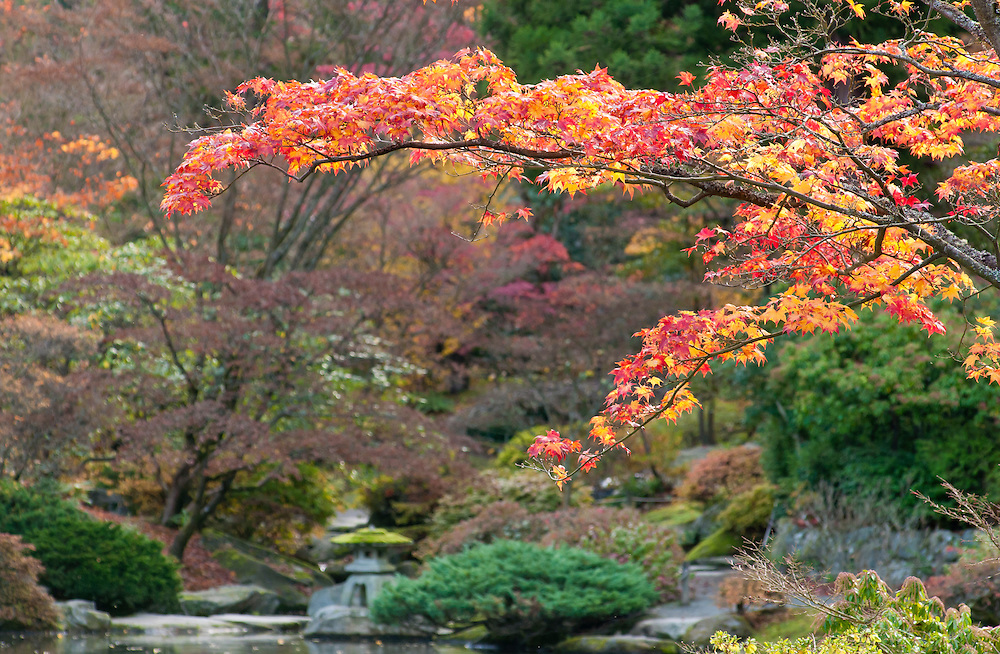 Maple tree with fall color in the Japanese Garden at Washington Park Arboretum in Seattle, Washington.