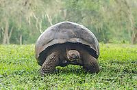 Endemic Galapagos Giant Tortoise, Geochelone nigrita porteri at Rancho El Manzanillo giant tortoise area on Santa Cruz Island on the Galapagos, Ecuador.