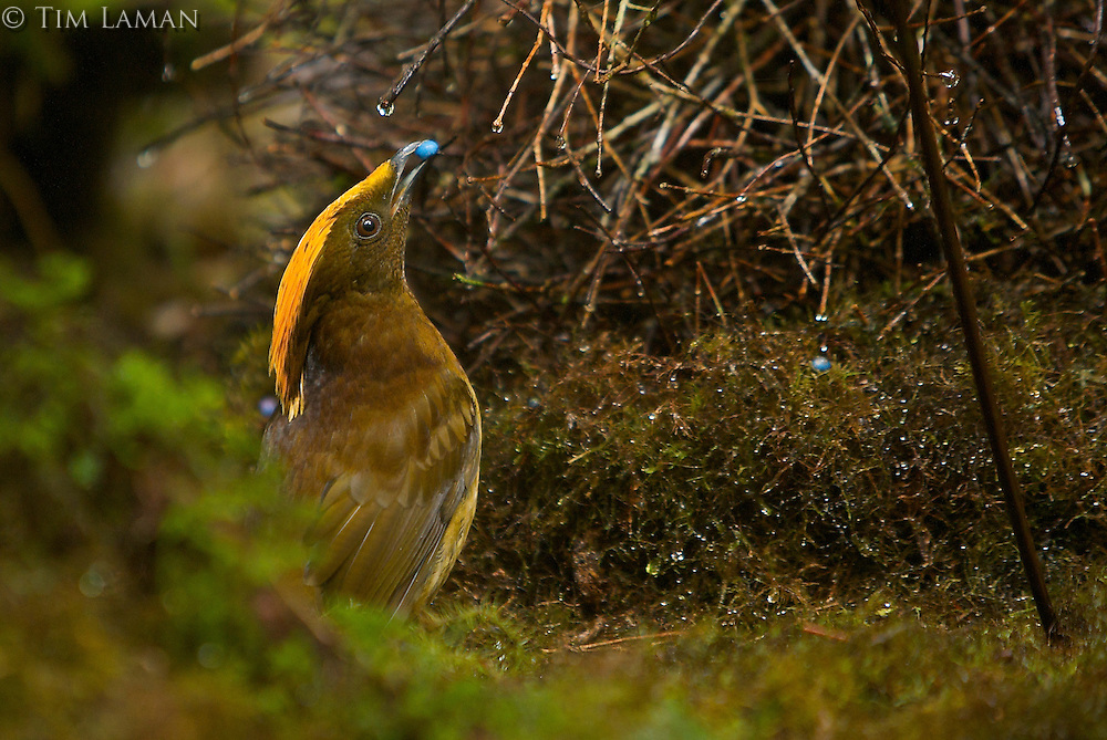 Male Yellow-fronted Bowerbird (Amblyornis flavifrons) male displaying to a female at his bower by holding a blue fruit in his bill and keeping on the opposite side of the bower from the female..