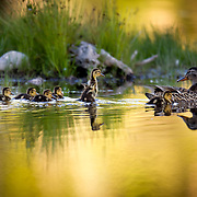 A mallard family takes a cruise in the moose ponds near Moose, Wyoming in Grand Teton National Park.
