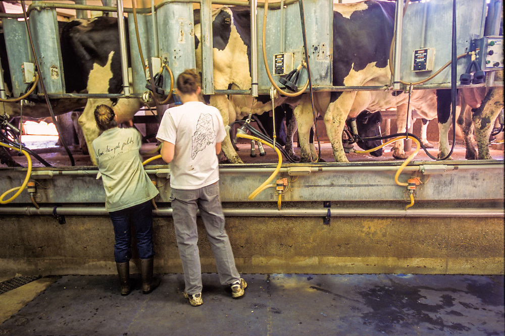 Women standing in milking parlor of dairy farm.