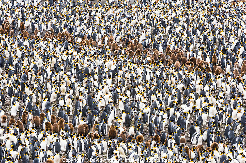 King Penguin (Aptenodytes patagonicus) chicks form patterns amongs groups of adults, St Andrews Bay, South Georgia Island, South Atlantic Ocean