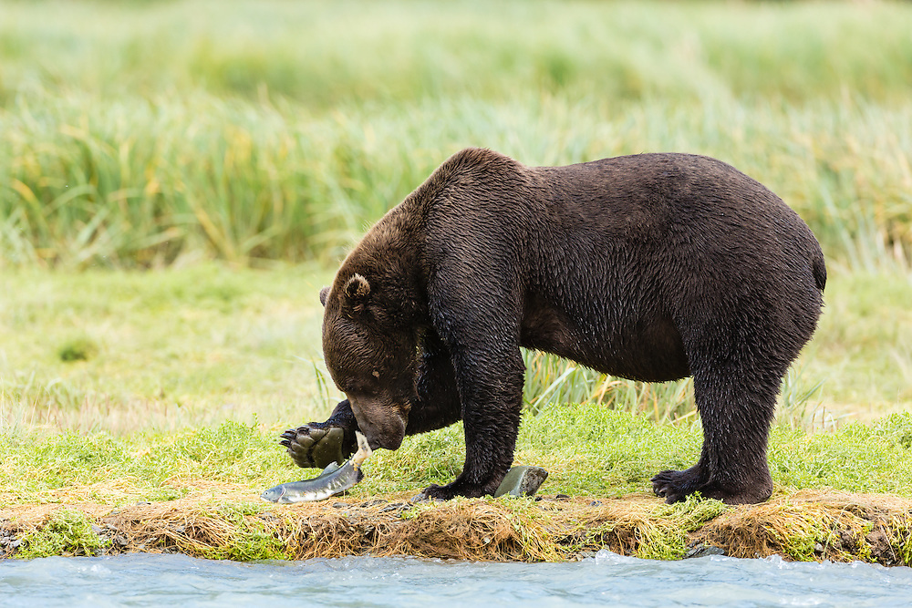 Brown bear (Ursus arctos) with salmon along Geographic Creek at Geographic Harbor in Katmai National Park in Southwestern Alaska. Summer. Afternoon.
