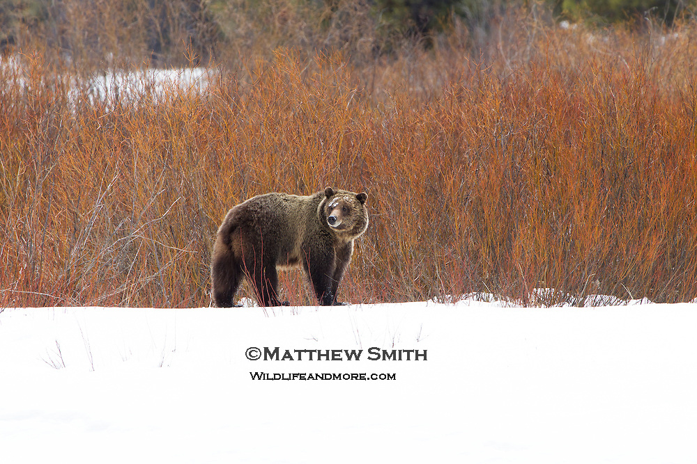 Grizzly Bear profile at Oxbow Bend in Grand Teton National Park Wyoming.