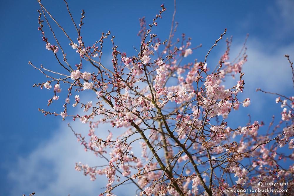 Prunus x subhirtella 'Autumnalis'. Winter flowering cherry