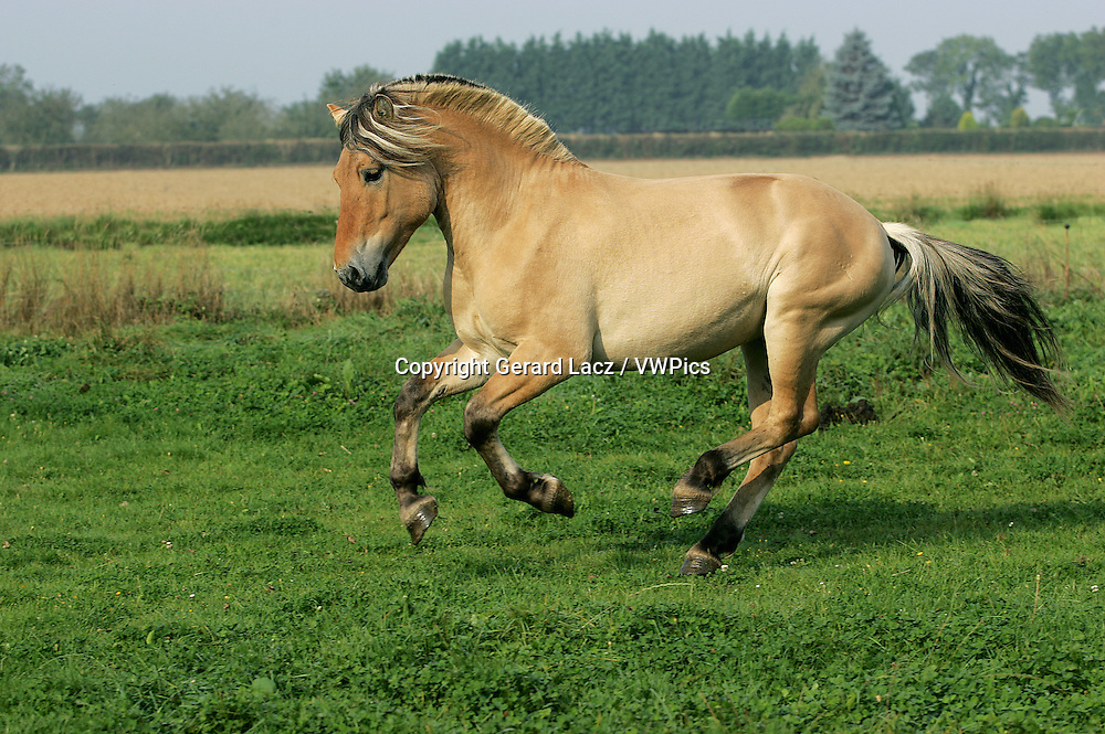 NORWEGIAN FJORD HORSE, ADULT GALLOPING THROUGH MEADOW