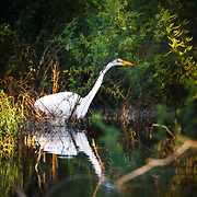 A great egret hunting on a south Texas ranch.