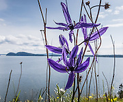 "Indian Camas (Camassia quamash) blooms with a blue flower on Vendovi Island, Skagit County, Washington, USA. The Indian Camas (or Indian hyacinth or Wild hyacinth, Camassia quamash) is native to western North America. Its flowers bloom in various shades of blue. DNA and biochemical studies by  the Angiosperm Phylogeny Group have reassigned Camassia from the Lily family to the family Asparagaceae, subfamily Agavoideae. The scientific species name ""quamash"" is from a Nez Perce term for the plant's bulb, which was gathered and used as a food source by tribes in the Pacific Northwest. On the San Juan Islands, native tribes burned forest to maintain sunny fields for growing this plant. Vendovi Island was named after a Fijian High Chief Ro Veidovi who was brought to North America by the 1841 Wilkes Expedition. The San Juan Preservation Trust, a land trust for conservation in the San Juan Islands, purchased the island in December 2010 from the family of John Fluke Sr. Vendovi Island lies across Samish Bay from mainland Skagit County, between Guemes Island and Lummi Island, in the Salish Sea."