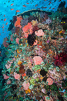 Colorful reef fish feed in the current above healthy Corals.<br /> <br /> Shot in Indonesia
