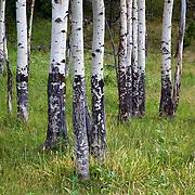 Quaking Aspen trees, Yellowstone National Park, Wyoming.