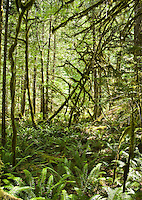 A fern and moss covered forest floor in a Pacific Northwest forest near Newhalem, Washington in the North Cascades, USA.