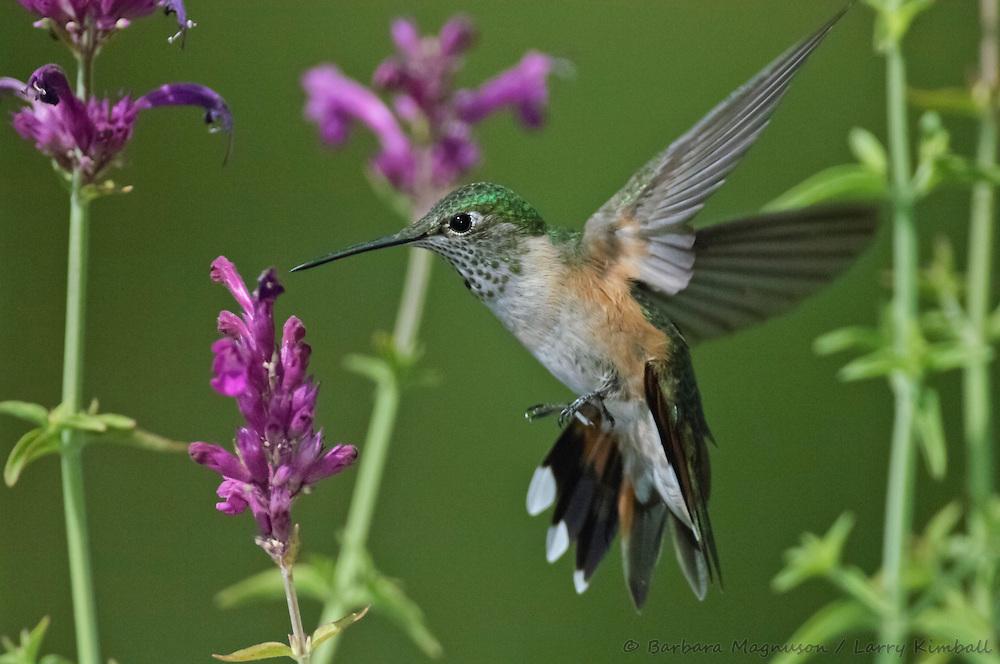Broad-tailed Hummingbird [Selasphorus platycercus] nectaring; Fremont County, Colorado
