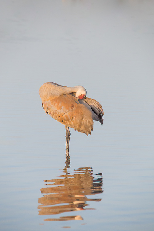 Sandhill crane preening itself
