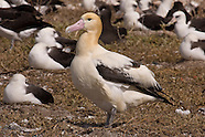 Short-tailed Albatross photos