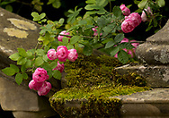 Rosa 'Raubritter', a small round pink rose on a moss covered balustrade at Newby Hall, Ripon, North Yorkshire, UK