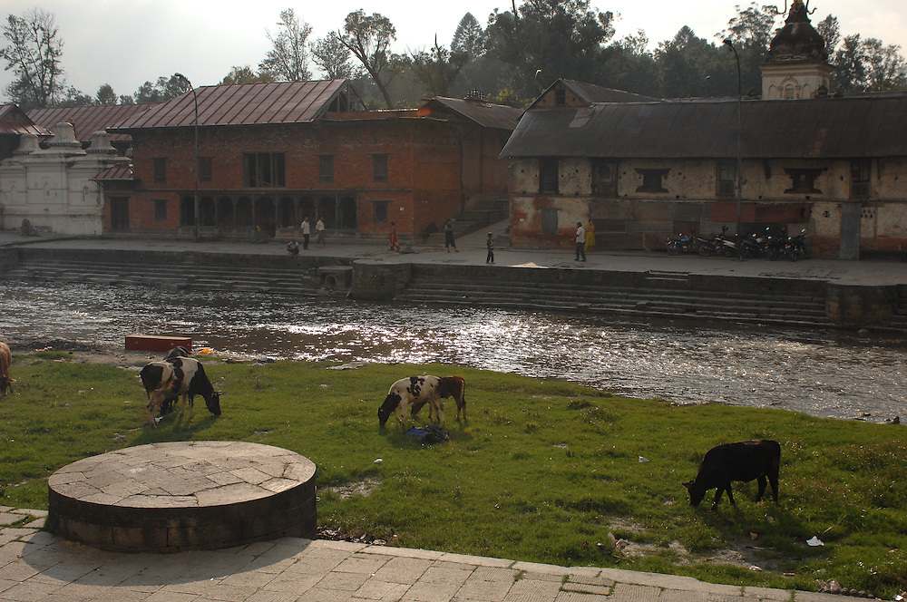 Cows graze along the banks of the Bagmati river near Pashupatinath Temple, in Kathmandu, Nepal.