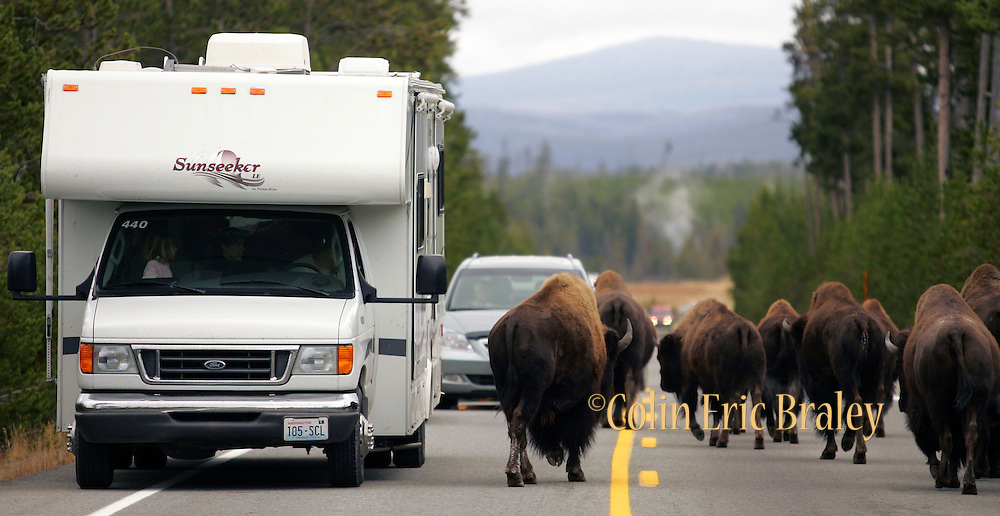 Tourists give way to buffalo walkng on a road in Yellowstone National Park, May, 2005.