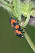 Red-and-black froghopper - Cercopis vulnerata