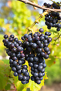 Bunch of black grapes on vines for production of Regent red wine in English Sedlescombe Organic Vineyard in Kent, UK