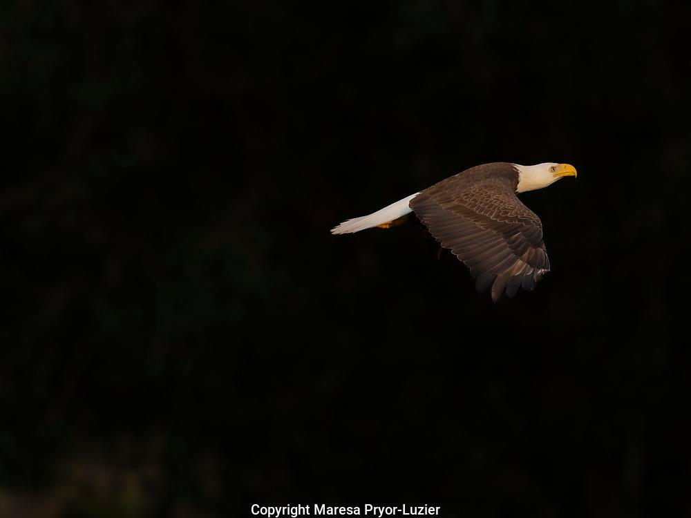 Bald Eagle in flight, Haliaeetus leucocephalus, Ft.Myers, Florida