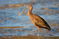 A white-faced ibis searches in the shallow water for food, its plumage glowing in the setting sun