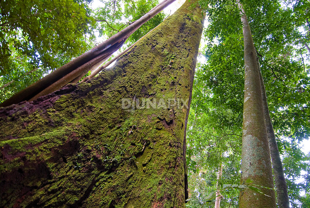 View up a mossy, towering rainforest tree near Bukit Lawang, Gunung Leuser National Park, Sumatra. Flaring buttress roots are a hallmark of nutrient-poor tropical soils.