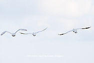 00759-00302 Three Tundra Swans (Cygnus columbianus) in flight at Prairie Ridge State Natural Area, Marion Co., IL