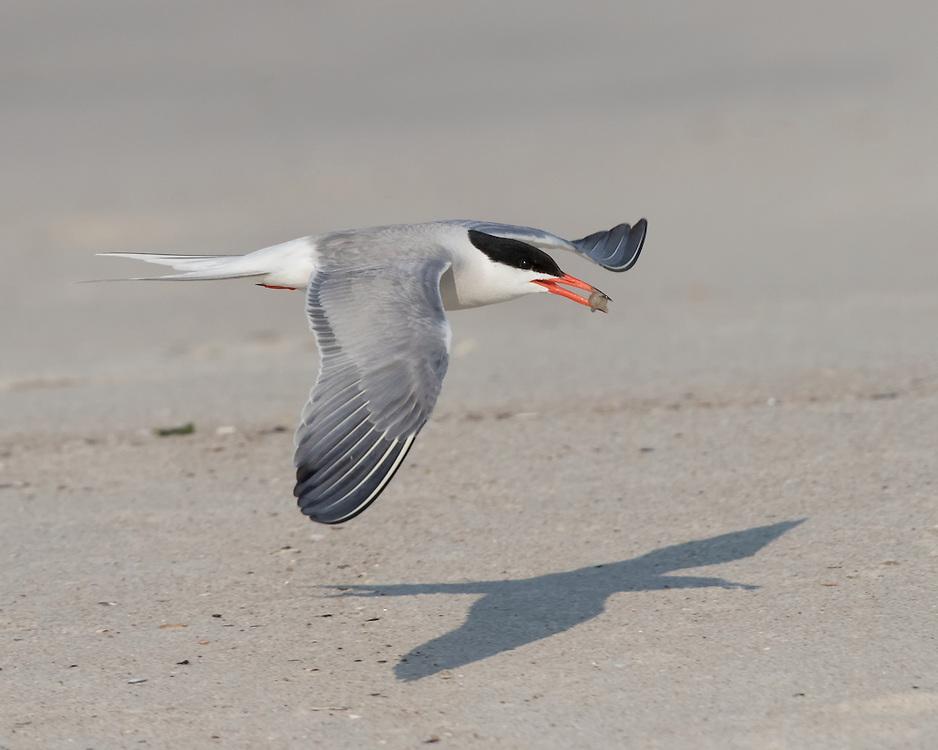 Common Tern (Sterna hirundo) flying over the beach, Nickerson Beach, Lido Beach, New York