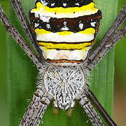 "Argiope sp. The genus Argiope etymology of the name is from a Greek name meaning ""silver-faced."""