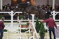 052, Mobilee Jack van den Dries<br /> BWP Hengsten keuring Koningshooikt 2015<br /> © Hippo Foto - Dirk Caremans<br /> 21/01/16