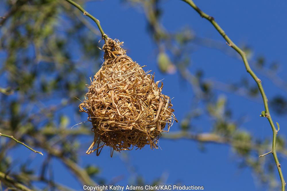 Weaver nest, Tarangire National Park, Manyara Region, Tanzania, Africa.