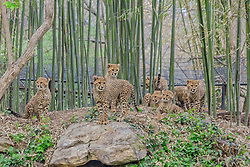 """Meet the BingwaBunch - a record-breaking litter of cheetah cubs who have just turned one. The five girls and four boys are named for the numbers one through eight in Swahili: Moja, Mbili, Tatu, Nne, Tano, Sita, Saba, and Nane. Born on November 26, 2017, the eight cubs were the largest litter ever raised by a cheetah in an American Zoo. The average litter size is just three. The eight cubs, who are now almost fully grown, are known as the BingwaBunch after their adoring mother Bingwa, while their father is called Jason. Despite the daunting task of raising eight boisterous cubs, Bingwa and Jason have excelled as parents, and, along with the help of keepers at Saint Louis Zoo, they have managed to raise a healthy set of octuplets. The cubs now spend their days playing in their stunning enclosure as the lucky staff has the pleasure of witnessing their personalities emerge. Steve Bircher, Curator of Mammals, said: """"We have a couple that might be bolder than others with the way they play with their enrichment or the way they chase one and other. We are starting to see these difference in personalities. Just like us, they have distinct personalities."""" Now, to mark their first birthday, the Saint Louis Zoo has released these stunning images, which chart the early life of this unique litter of cheetahs. ***Please note, must credit Saint Louis Zoo***. 27 Nov 2018 Pictured: The BingwaBunch the largest litter of cheetah cubs in North America Born at St Louis Zoo. Photo credit: Saint Louis Zoo / MEGA TheMegaAgency.com +1 888 505 6342"""
