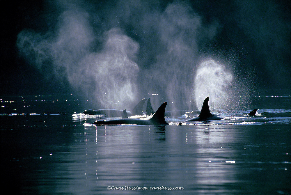 orca or killer whales, cruising at daybreak, the mist from their blowholes is visible on a cold morning, Orcinus orca, San Juan Islands, Washington State, Pacific Ocean