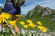 A female hiker's legs walk by Alpine yellow composite wildflowers blooming at Meglisalp near Bötzel pass in the Alpstein limestone range, Appenzell Alps, Switzerland, Europe. The aster, daisy or sunflower family (Asteraceae or Compositae) is the largest family of vascular plants. Appenzell Innerrhoden is Switzerland's most traditional and smallest-population canton (second smallest by area).