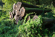 gelagerte Baumstämme, Odenwald, Naturpark Bergstraße-Odenwald, Hessen, Deutschland | cut tree trunks, Rohrbach, Odenwald, Hessen, Germany