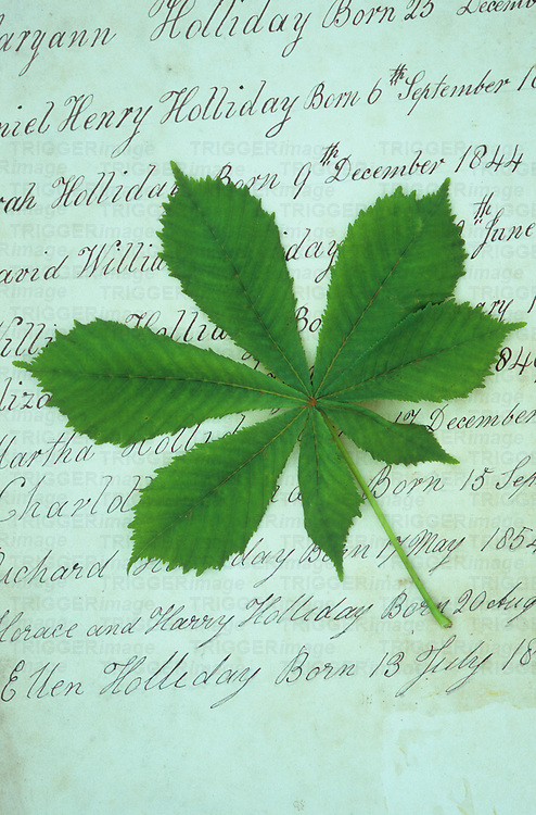 Fresh spring green leaf of Horse chestnut or Aesculus hippocastanum tree lying on family Bible endpaper recording 19th-century births