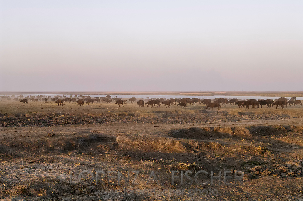Afrikanischer Büffel an der Riverfront im Chobe Nationalpark in Botswana am Abend.