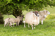 Mother ewe sheeps and lambs in shade os hawthorn tree, Pewsey Downs chalk grassland, Wiltshire, England, UK
