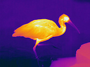Thermogram of a Scarlet Ibis. (Eudocimus ruber) The different colors represent different temperatures on the object. The lightest colors are the hottest temperatures, while the darker colors represent a cooler temperature.  Thermography uses special cameras that can detect light in the far-infrared range of the electromagnetic spectrum (900?14,000 nanometers or 0.9?14 µm) and creates an  image of the objects temperature..