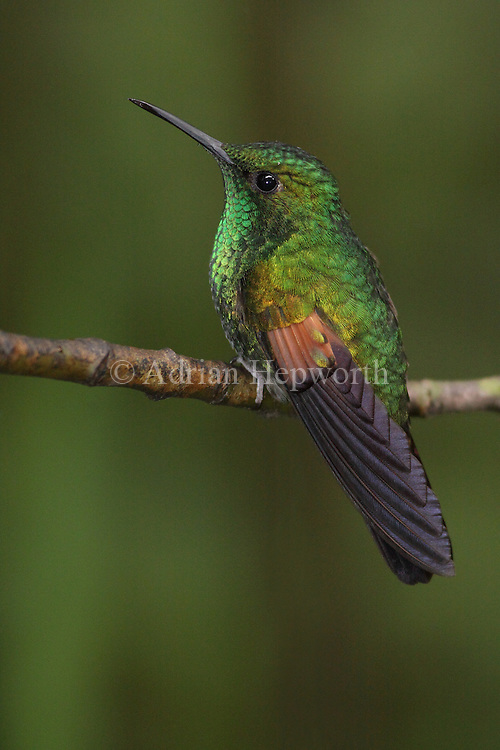 Male Stripe-tailed Hummingbird (Eupherusa eximia). Monteverde Cloud Forest Preserve, Costa Rica. <br />