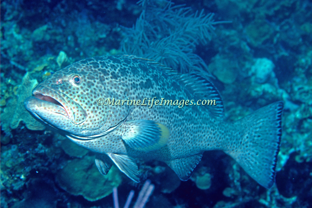 Yellowfin Grouper inhabit reefs in Tropical West Atlantic; picture taken Roatan, Honduras.