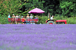© Licensed to London News Pictures. 19/07/2018. Banstead, UK. A group of visitors sit on top of a trailer, being pulled by a tractor, through a field of Lavender plants at Mayfield Lavender Farm in Banstead. Photo credit: Grant Falvey/LNP