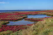 Field with red salicornia Salt-tolerant plant. Saltwort plant (Salicornia sp.) growing in a soil with a high salt content. This plant is growing in the Evros (Maritsa) river delta, Greece