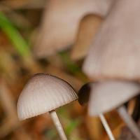 Alberto Carrera, Mushroom, Guadarrama National Park, Segovia, Castilla y León, Spain, Europe.