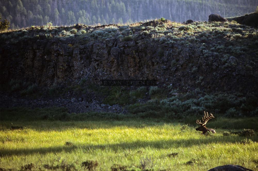 A bull elk in velvet in Yellowstone National Park.