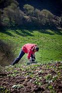 potato digging 2015