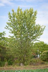 Populus balsamifera. Balsam poplar