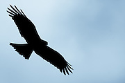 Silhouette of a bird of prey (black kite) in flight, displaying its broadly feathered wingspan.